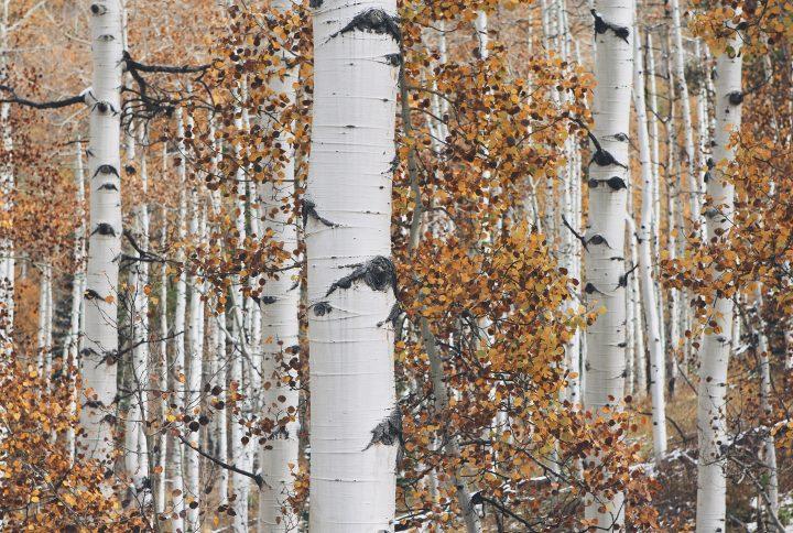 Breza v kozmetike - blahodarné účinky brezy